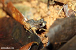 Craugastor bransfordii frog