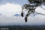Oropendula nests [costa_rica_la_selva_1385]