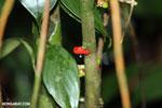 Rainforest berry