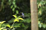 Hummingbirds [costa_rica_la_selva_1417]