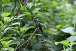 Hummingbirds [costa_rica_la_selva_1418]