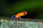 Strawberry poison-dart frog (Oophaga pumilio) [costa_rica_la_selva_1434]