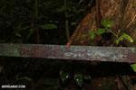 Strawberry poison-dart frog (Oophaga pumilio) [costa_rica_la_selva_1439]