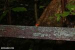 Strawberry poison-dart frog (Oophaga pumilio) [costa_rica_la_selva_1440]