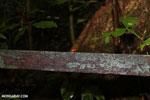 Strawberry poison-dart frog (Oophaga pumilio) [costa_rica_la_selva_1441]