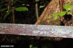 Strawberry poison-dart frog (Oophaga pumilio) [costa_rica_la_selva_1442]