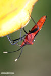 Assassin bug [costa_rica_la_selva_1479]