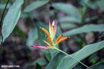 Heliconia [costa_rica_la_selva_1491]