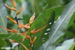 Hummingbirds [costa_rica_la_selva_1504]