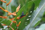 Hummingbirds [costa_rica_la_selva_1506]