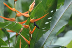 Hummingbirds [costa_rica_la_selva_1507]
