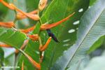 Hummingbirds [costa_rica_la_selva_1509]