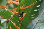 Hummingbirds [costa_rica_la_selva_1512]