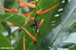 Hummingbirds [costa_rica_la_selva_1514]