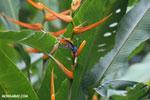Hummingbirds [costa_rica_la_selva_1515]