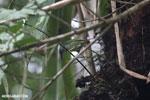 Bird [costa_rica_la_selva_1525]