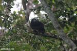 Mantled howler (Alouatta palliata) [costa_rica_la_selva_1530]