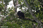 Mantled howler (Alouatta palliata) [costa_rica_la_selva_1535]