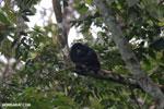 Mantled howler (Alouatta palliata) [costa_rica_la_selva_1538]