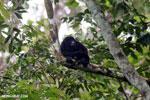 Mantled howler (Alouatta palliata) [costa_rica_la_selva_1541]