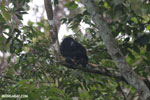 Mantled howler (Alouatta palliata) [costa_rica_la_selva_1542]