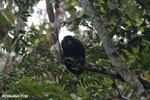 Mantled howler (Alouatta palliata) [costa_rica_la_selva_1551]