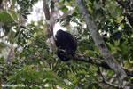 Mantled howler (Alouatta palliata) [costa_rica_la_selva_1558]