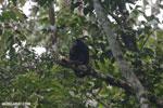 Mantled howler (Alouatta palliata) [costa_rica_la_selva_1568]