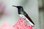 Hummingbirds [costa_rica_la_selva_1580]