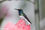 Hummingbirds [costa_rica_la_selva_1583]
