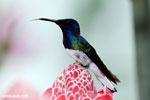 Hummingbirds [costa_rica_la_selva_1585]
