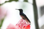 Hummingbirds [costa_rica_la_selva_1588]