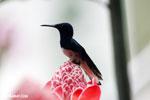 Hummingbirds [costa_rica_la_selva_1589]
