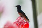 Hummingbirds [costa_rica_la_selva_1590]