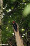 Pale-billed Woodpecker (Campephilus guatemalensis) [costa_rica_la_selva_1594]