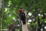 Pale-billed Woodpecker (Campephilus guatemalensis) [costa_rica_la_selva_1602]