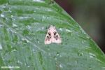 Moth [costa_rica_la_selva_1603]