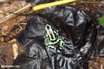Green-and-black poison dart frog [costa_rica_la_selva_1604]