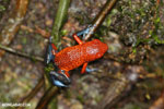 Strawberry poison-dart frog (Oophaga pumilio) [costa_rica_la_selva_1636]