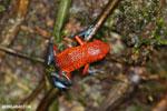 Strawberry poison-dart frog (Oophaga pumilio) [costa_rica_la_selva_1636]