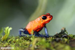 Strawberry poison-dart frog (Oophaga pumilio) [costa_rica_la_selva_1639]