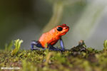 Strawberry poison-dart frog (Oophaga pumilio) [costa_rica_la_selva_1641]