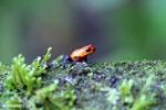 Strawberry poison-dart frog (Oophaga pumilio) [costa_rica_la_selva_1642]