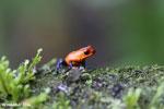 Strawberry poison-dart frog (Oophaga pumilio) [costa_rica_la_selva_1643]
