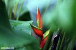 Heliconia [costa_rica_la_selva_1658]