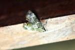 Moth [costa_rica_la_selva_1725]