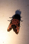 Moth [costa_rica_la_selva_1728]