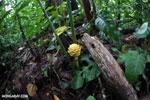 Wild ginger [costa_rica_la_selva_1745]