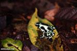 Green-and-black poison dart frog [costa_rica_la_selva_1794]