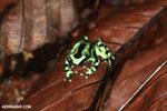 Green-and-black poison dart frog [costa_rica_la_selva_1798]